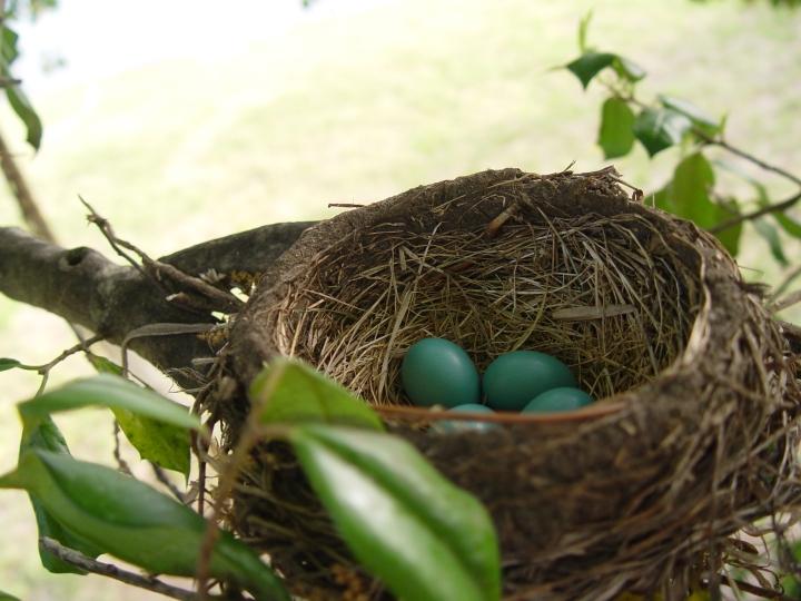 Robin's Nest in Holly Tree by Grace Garner