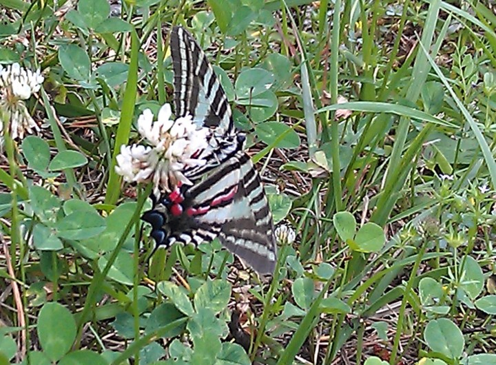"In this image you can see the red stripe and the ""swallow tail."""