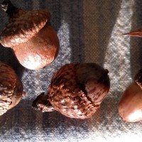Growing in Knowledge of Oaks and Acorns