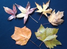 Top row: sweet gum, sweet gum, silver maple, red maple bottom row: tulip poplar, sycamore