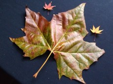 Large sycamore leaves, teeny maple leaves
