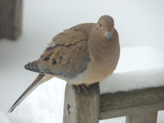 Mourning Dove on Teak Bench