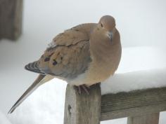 Mourning Dove on Teak Bench