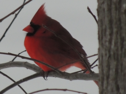 Cardinal Waiting for a Turn