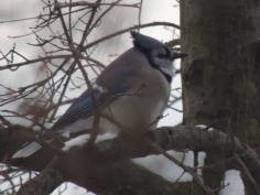 Blue Jay Keeping Warm