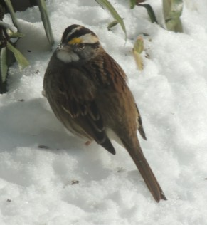 White Throated Sparrow with snow on his beak.