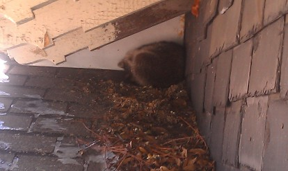 A racoon took shelter on our roof during the cold snap.
