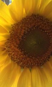One of Farmer Garner's sunflowers