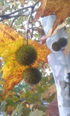 Sycamore seed balls, leaves and lovely bark