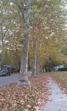 Avenue of Sycamore Trees