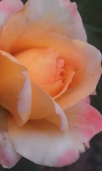 The scent of roses on the breeze