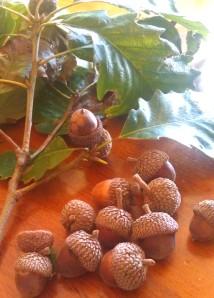 Chestnut Oak Acorns