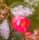 Camellia and lacy snow