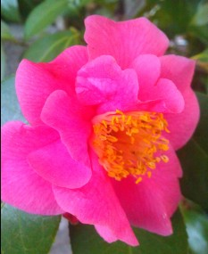 Our Camellia catching up!