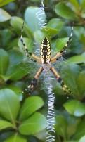My favorite spider! Argiope aurantia