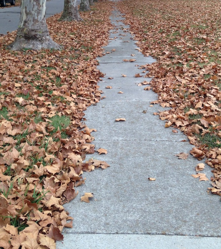 The Sycamore trees that line the streets are the first to drop leaves!
