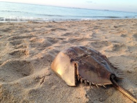 Horseshoe Crab (shell)
