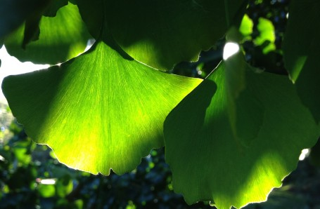 Crisp, green ginkgo leaves