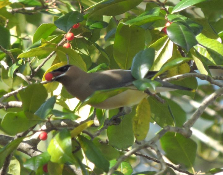 Waxwing Eating Berry