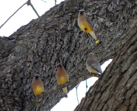 Waxwing Four 2