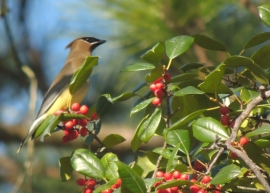 Waxwing In Holly