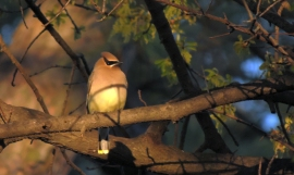 Waxwing Sitting