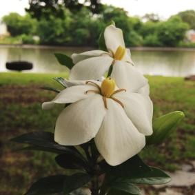 First Gardenia (and friend)