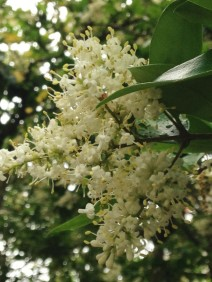 Not really a first, but the Ligustrum smells wonderful!