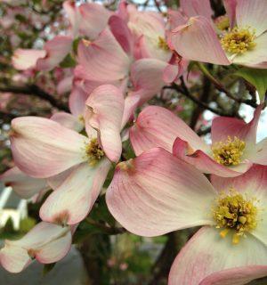 Virginia Flower: Dogwood