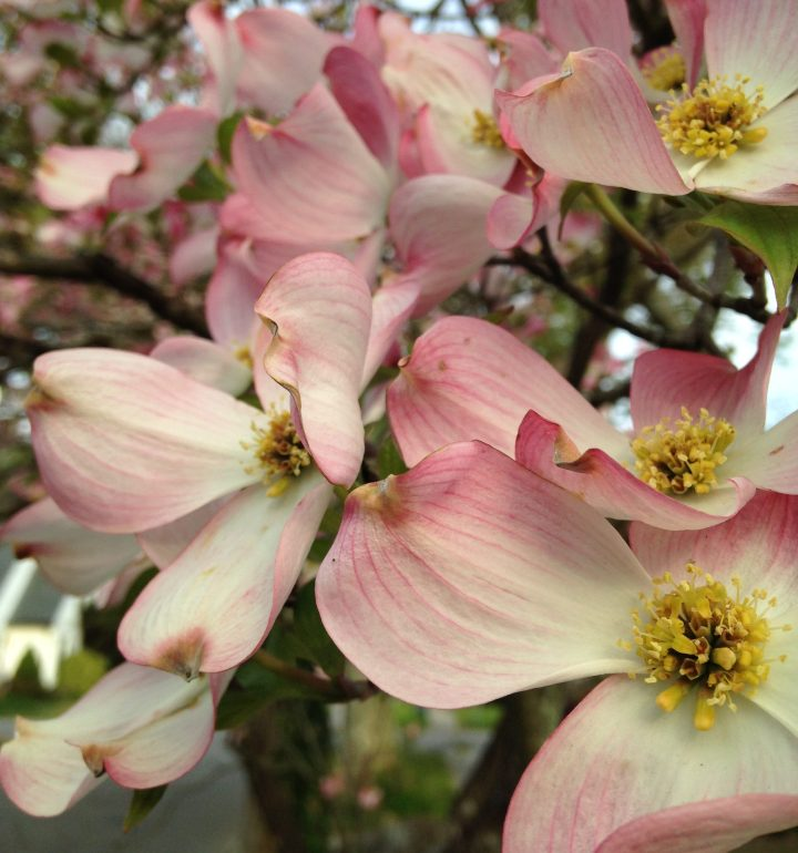 Virginia Flower: Dogwood