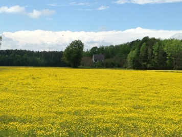 Fields of Gold in Pungo