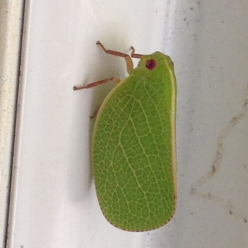Planthopper (Acanalonia conica)
