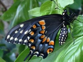 Black Swallowtail on Basil