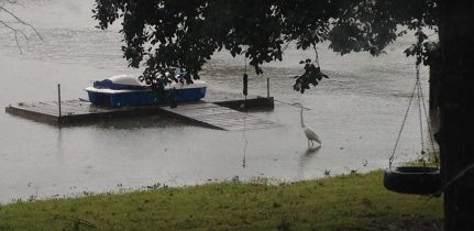 Egret fishing in our submerged backyard