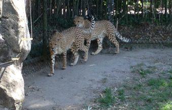 The Cheetahs at the Virginia Zoo